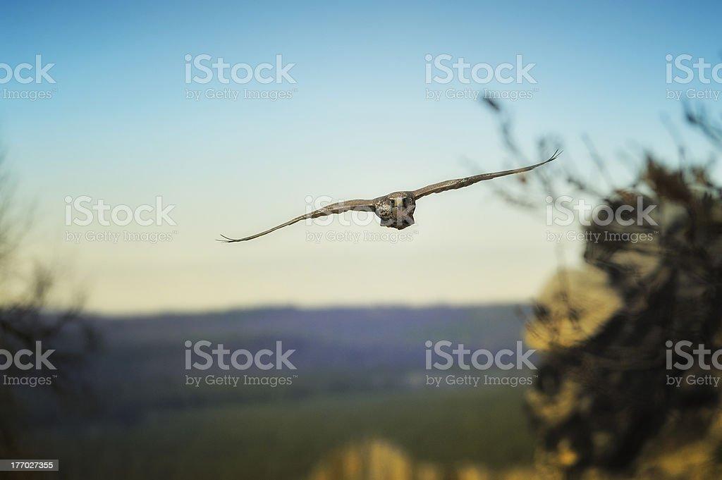 Falcon falco cherrug flying royalty-free stock photo