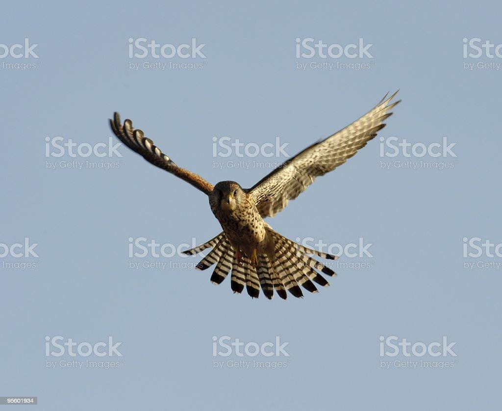 Falcon hovering stock photo