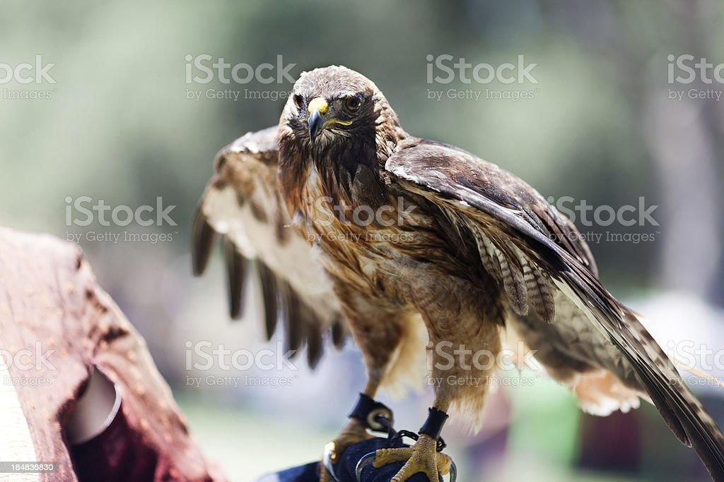 Falcon Hunter stock photo