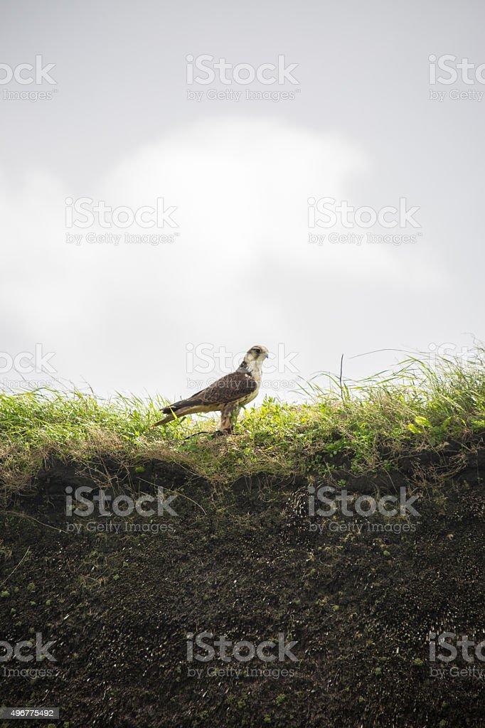 Falcon in Denmark stock photo
