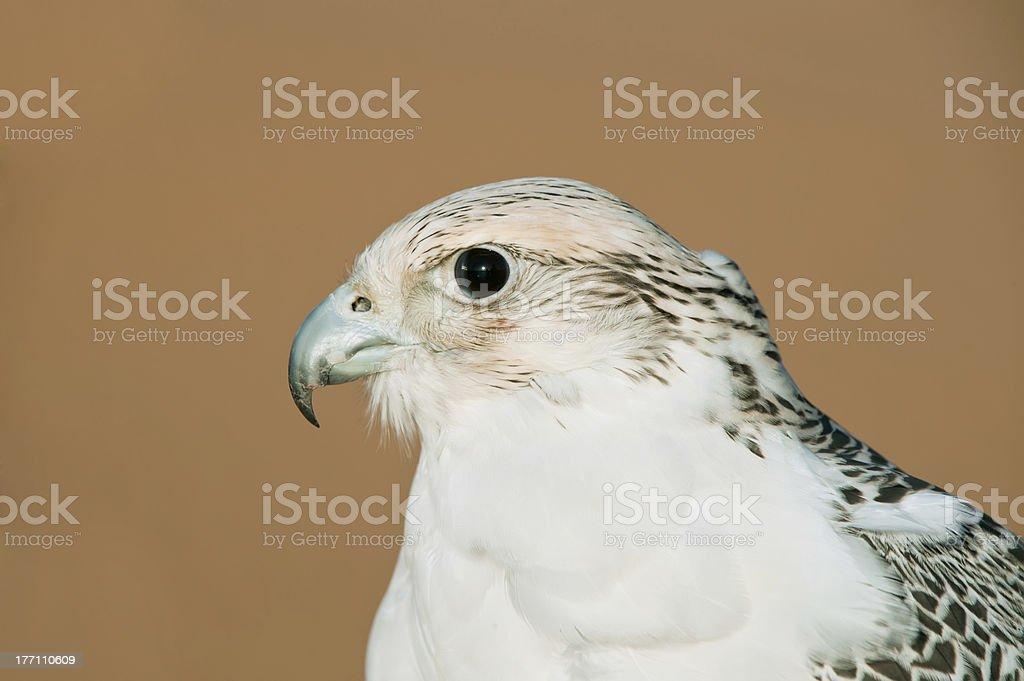 Falcon in desert royalty-free stock photo