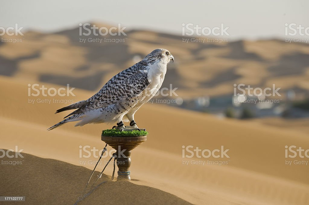 Falcon in dessert stock photo