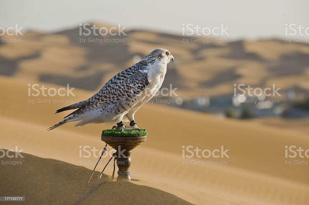 Falcon in dessert stock photo