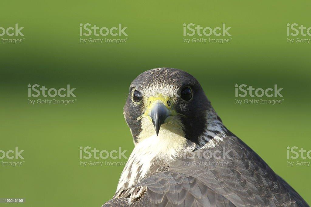 Falcon de vegetación foto de stock libre de derechos