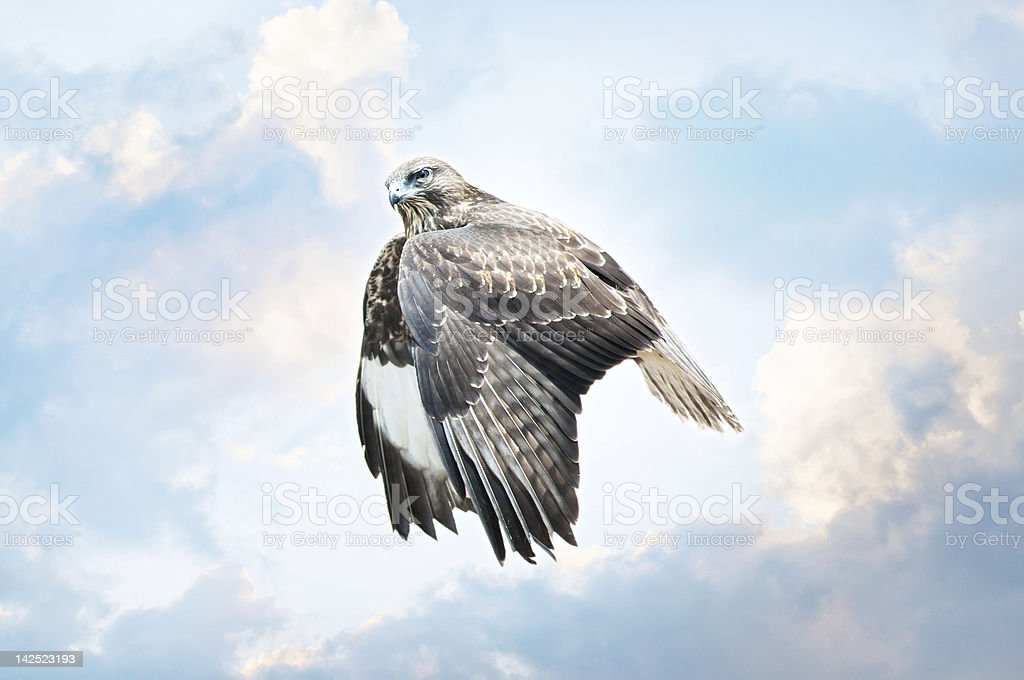 Falcon in the blue sky royalty-free stock photo