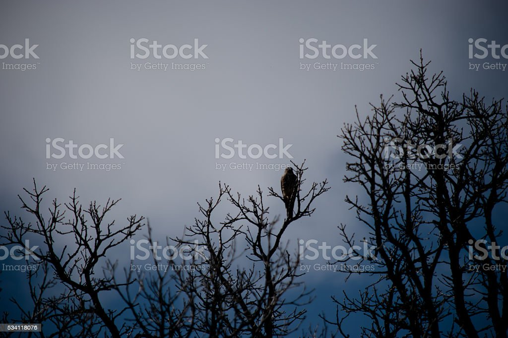 Falcon on branch stock photo