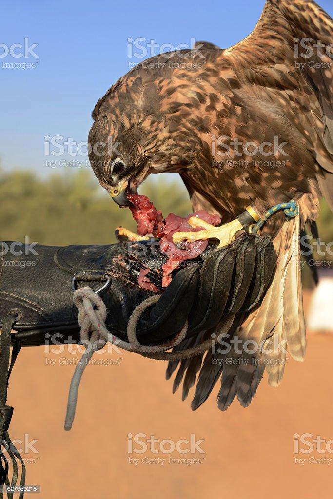 Falcon on hand in Dubai stock photo