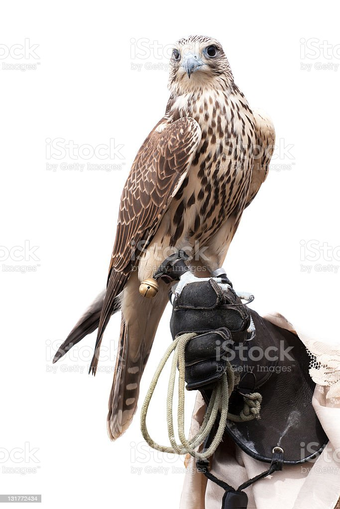 falcon on handlers hand stock photo