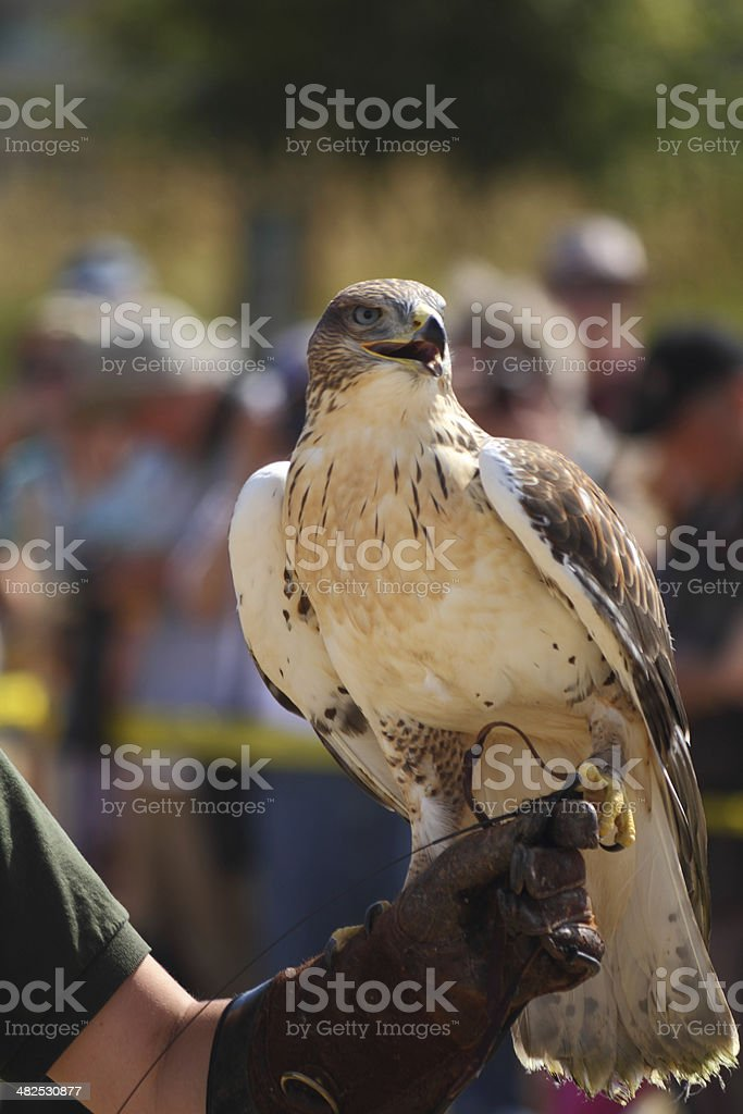 Falcon on Trainer's Glove royalty-free stock photo