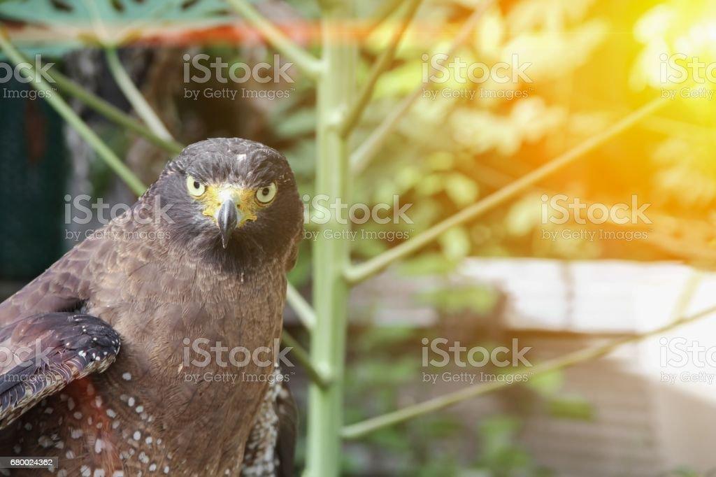 Falcon Peregrine or golden eagle, Closeup with sunset light tone stock photo