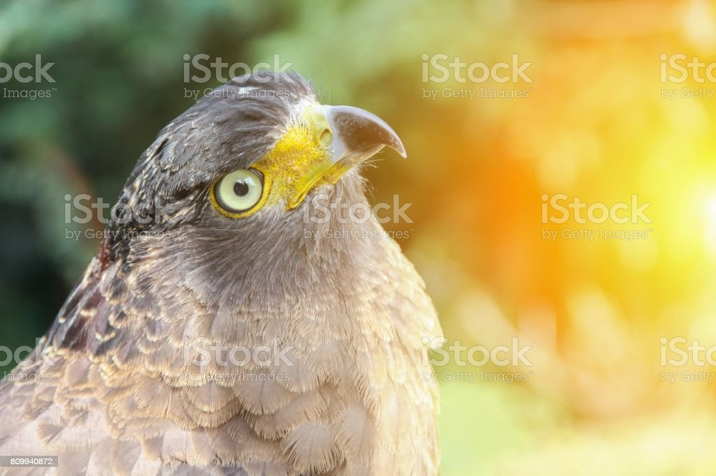 Falcon Peregrine or golden eagle, Closeup with sunset light tone stock photo