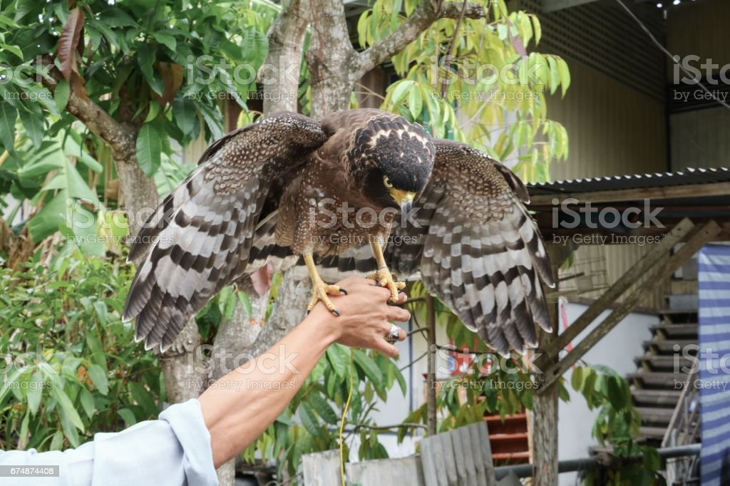 Falcon Peregrine or golden eagle, Selective focus sitting on hand stock photo