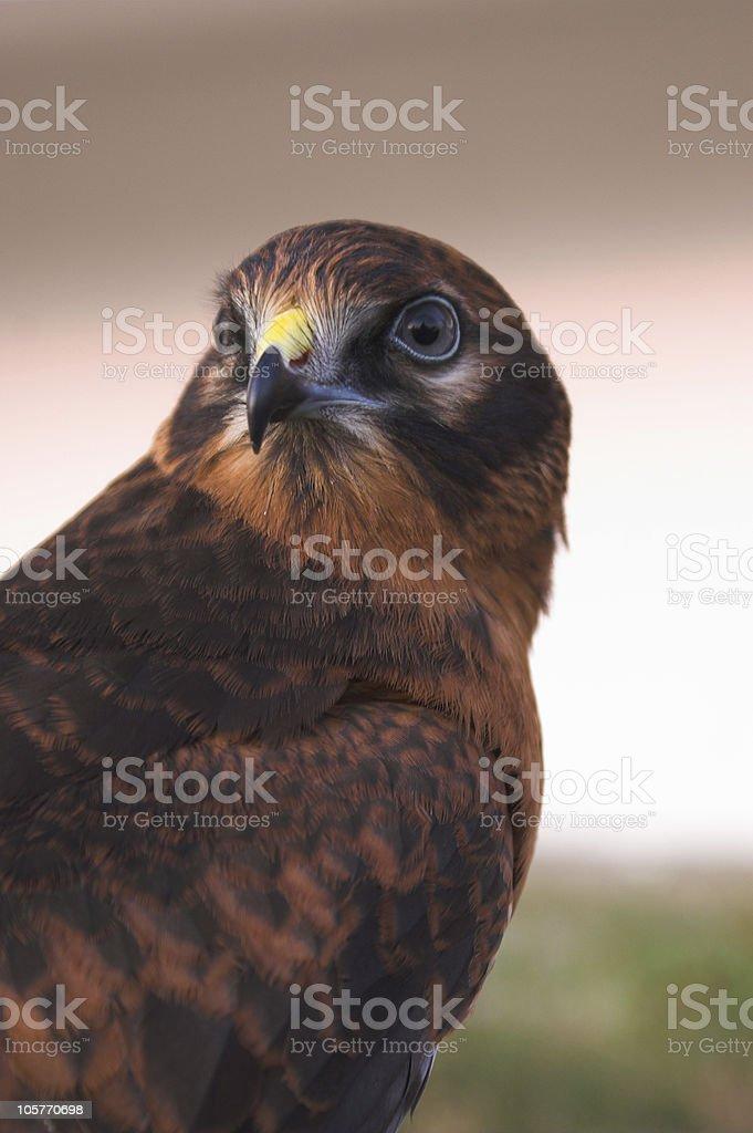 Falcon #2 royalty-free stock photo