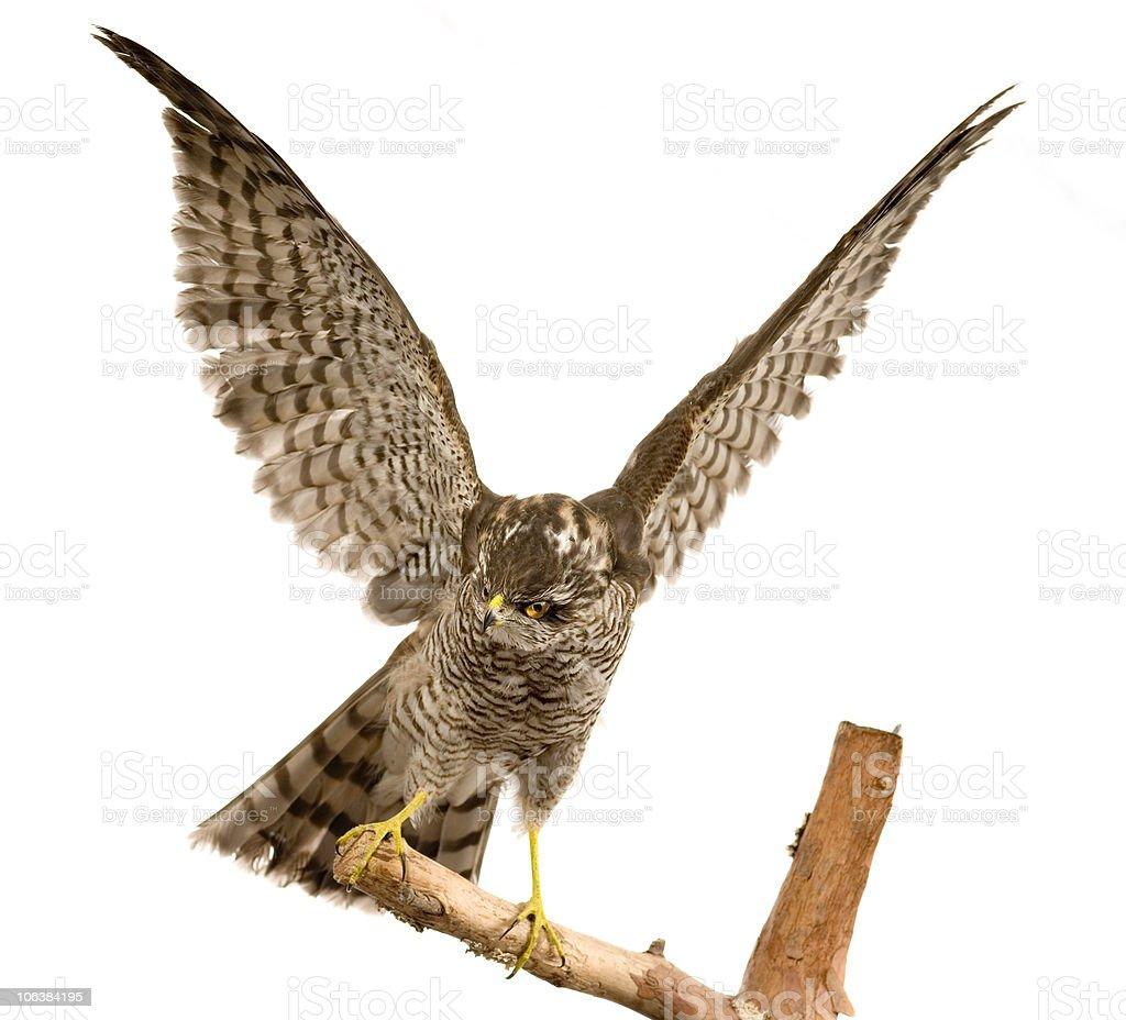 Falcon foto stock royalty-free