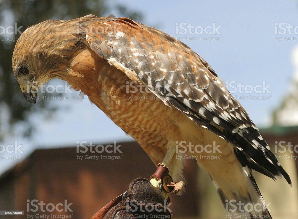 Falcon foto de stock libre de derechos