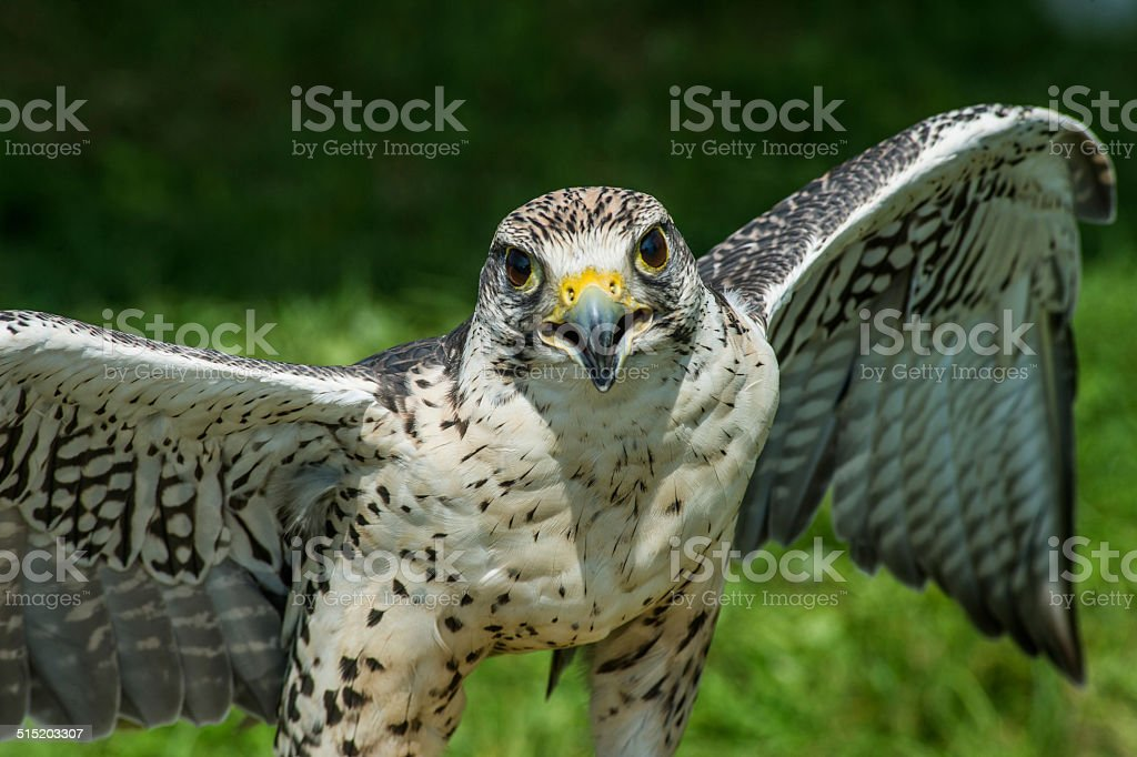 Falcon stock photo