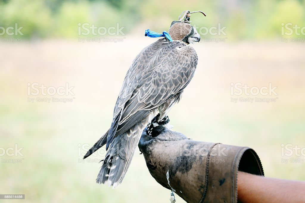 Falcon sitting on leather glove stock photo