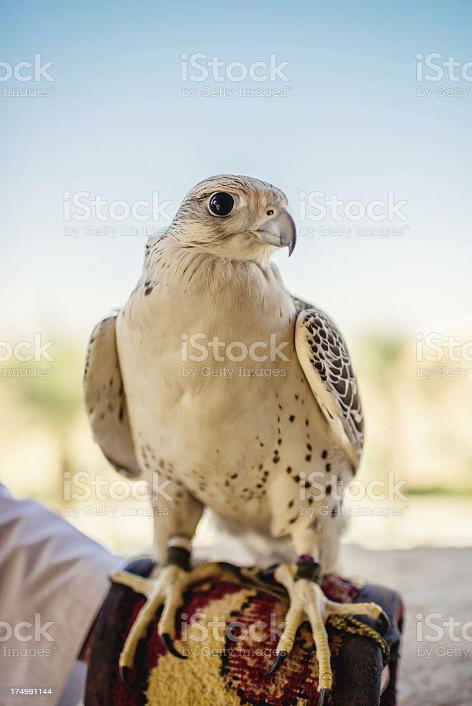 Falcon United Arab Emirates royalty-free stock photo