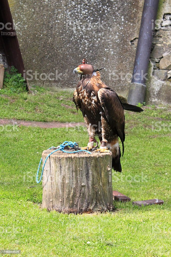Falcon with hood stock photo