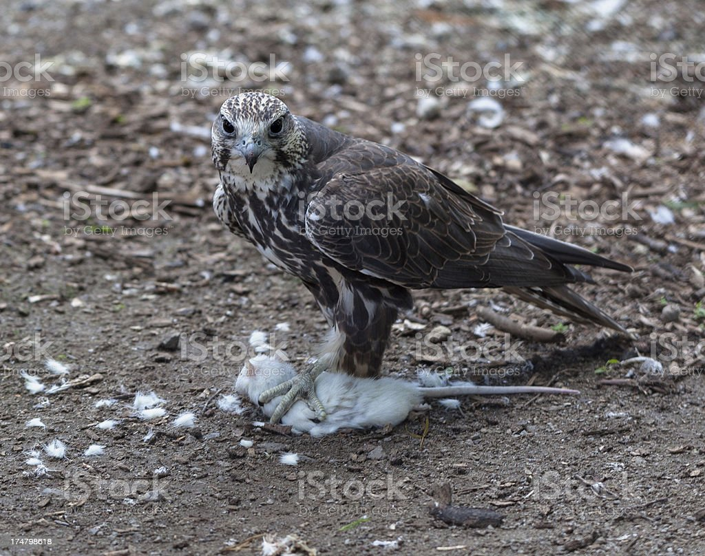 Falcon with mouse royalty-free stock photo