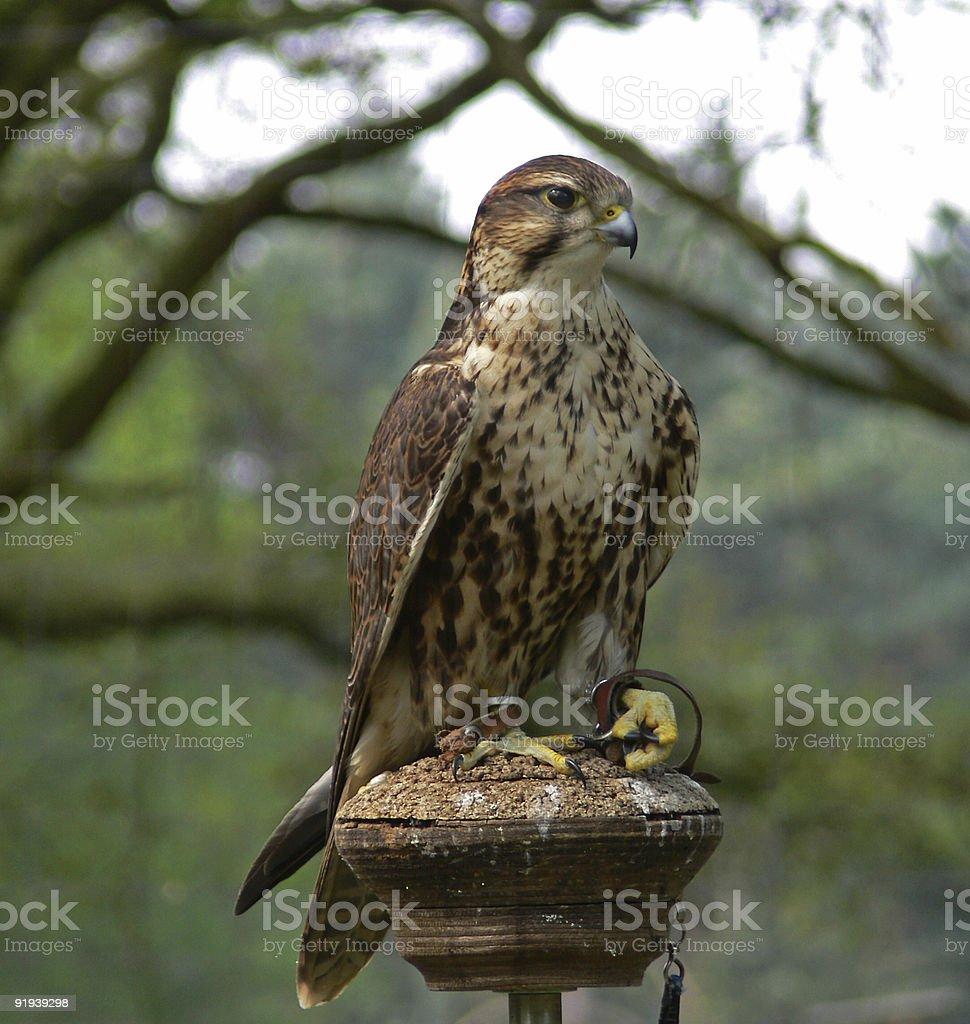 Falcon1 royalty-free stock photo