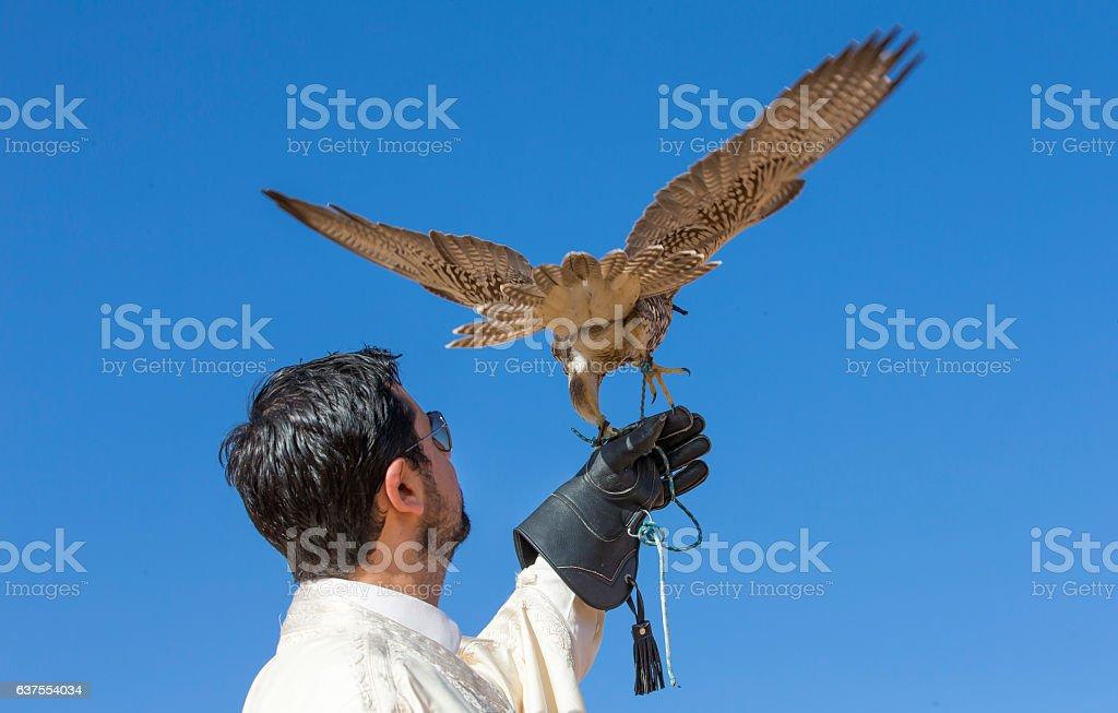 A Falconer posing with a saker falcon (falco churrug) stock photo