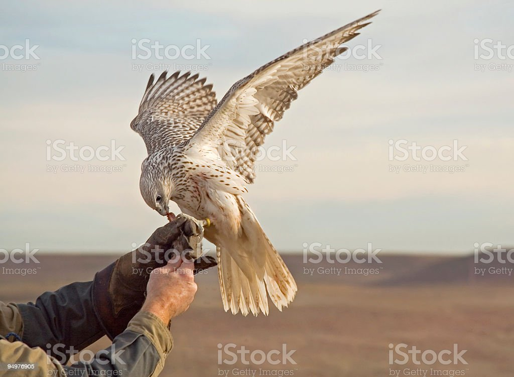 Falconer Retrieves His Prized Gyrfalcon royalty-free stock photo