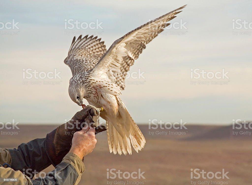 Falconer Retrieves His Prized Gyrfalcon stock photo