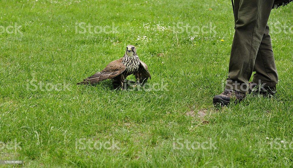 Falconer with Falcon,falco cherrug. stock photo