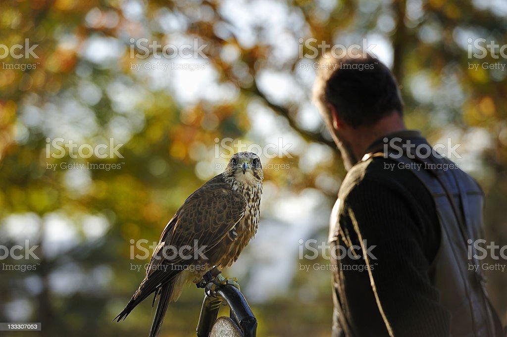 Falcon,falco cherrug . stock photo