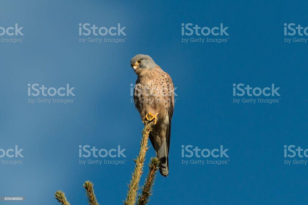 Falke, Turmfalke in Österreich auf einer Fichte stock photo