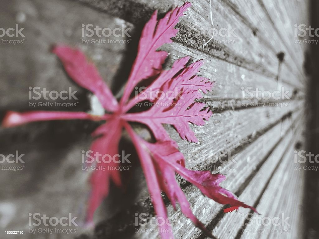 Fall Acer Leaf royalty-free stock photo