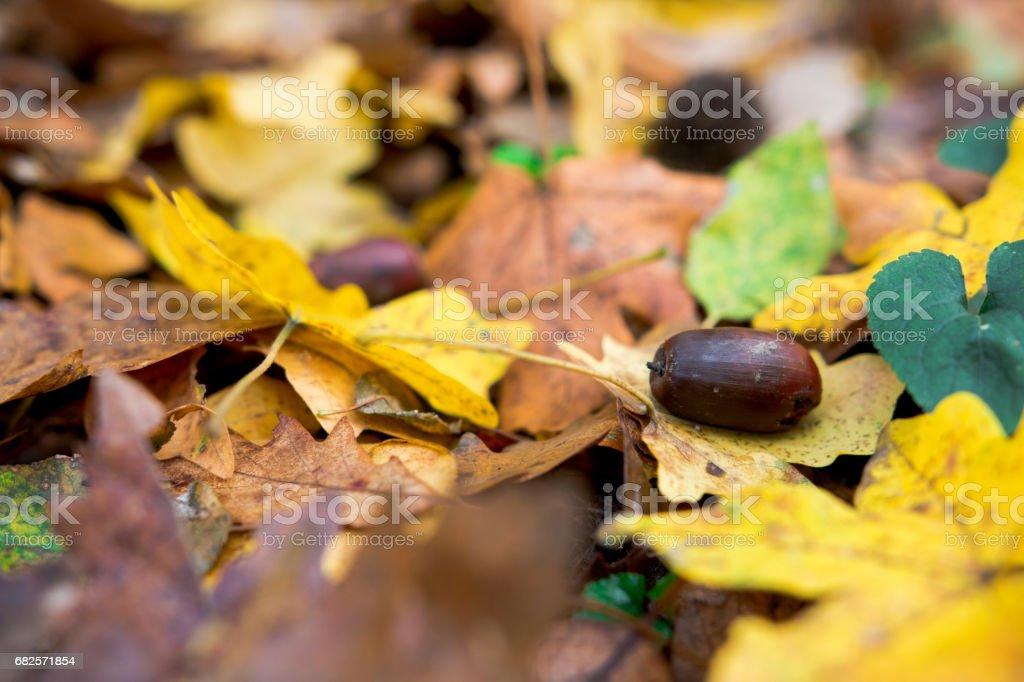 Fall acorn stock photo
