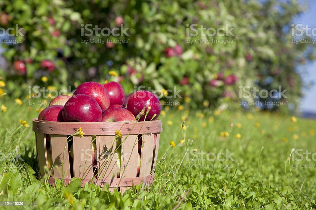 Fall Apple Harvest stock photo