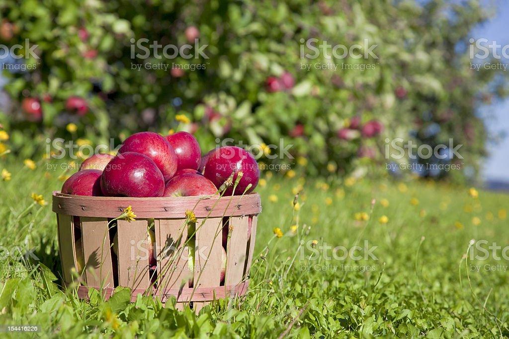 Fall Apple Harvest stock photo