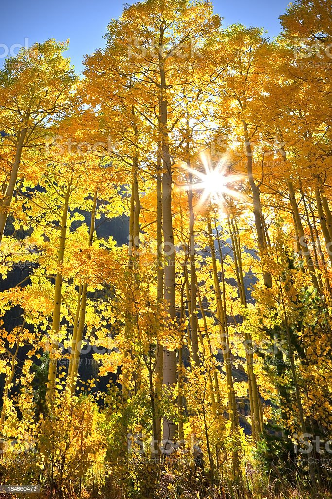 Fall Aspen Color in Colorado royalty-free stock photo