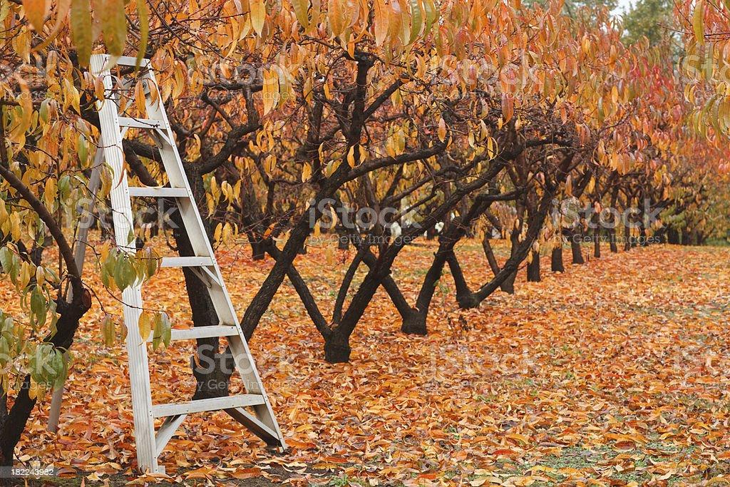 fall at the orchard royalty-free stock photo