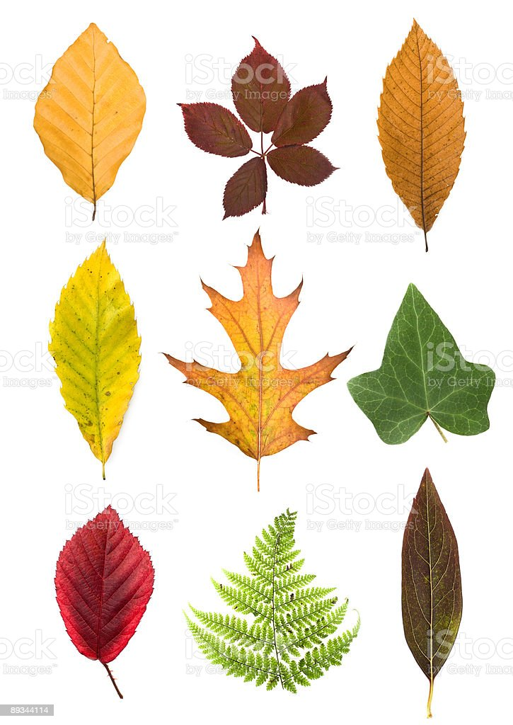 fall autumn leaf arrangement isolated on white royalty-free stock photo