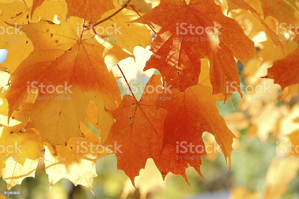 Fall beautiful leaves royalty-free stock photo