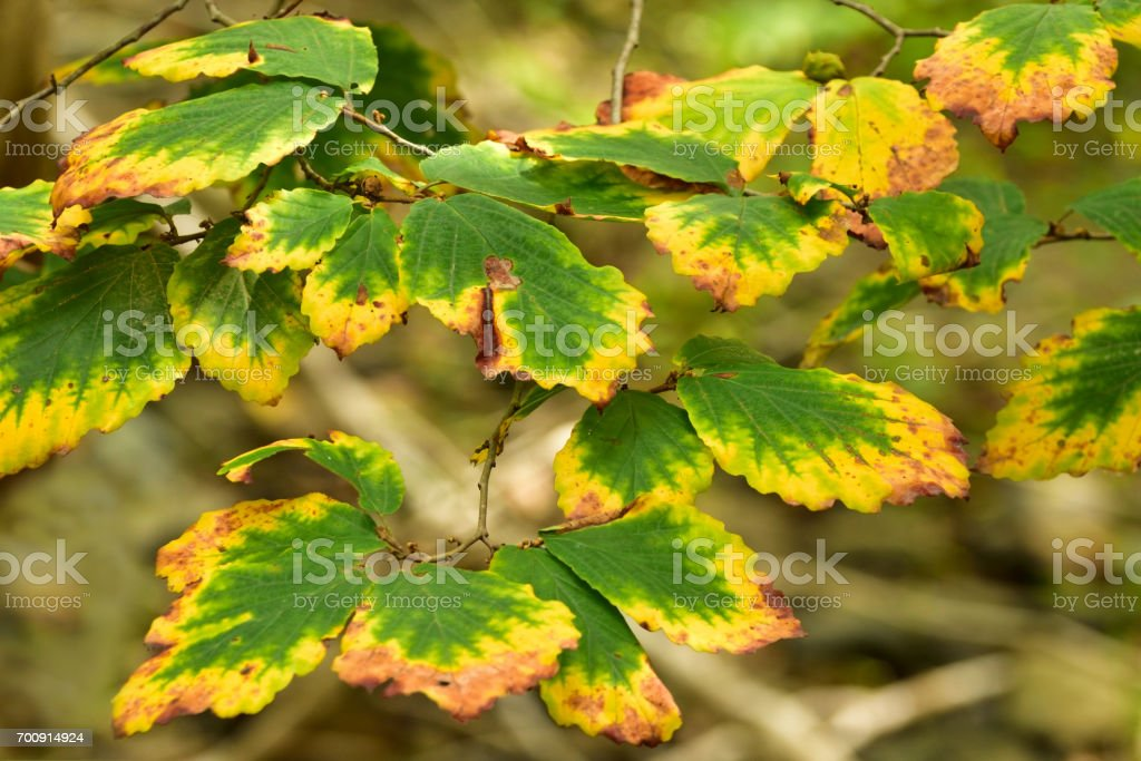 Fall Beech Leaves stock photo