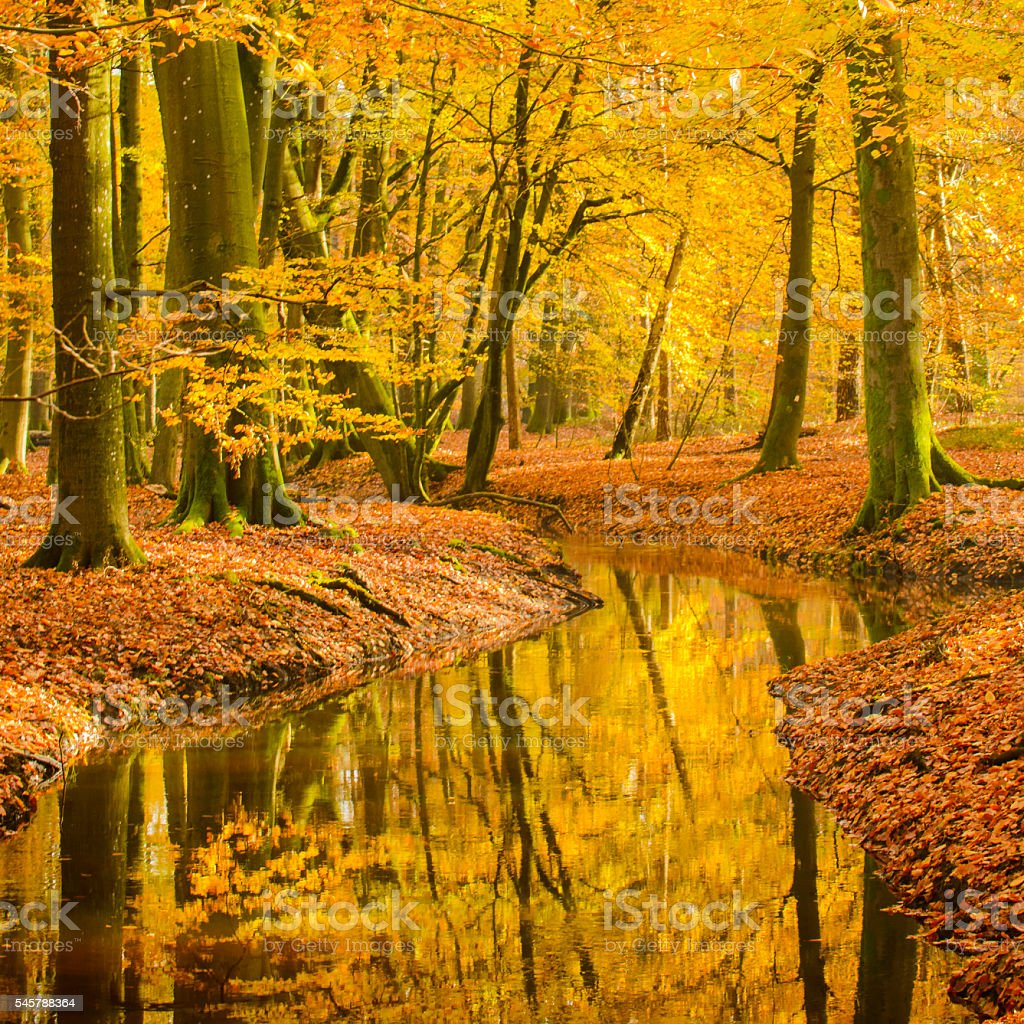 Fall Beech tree forest creek stock photo