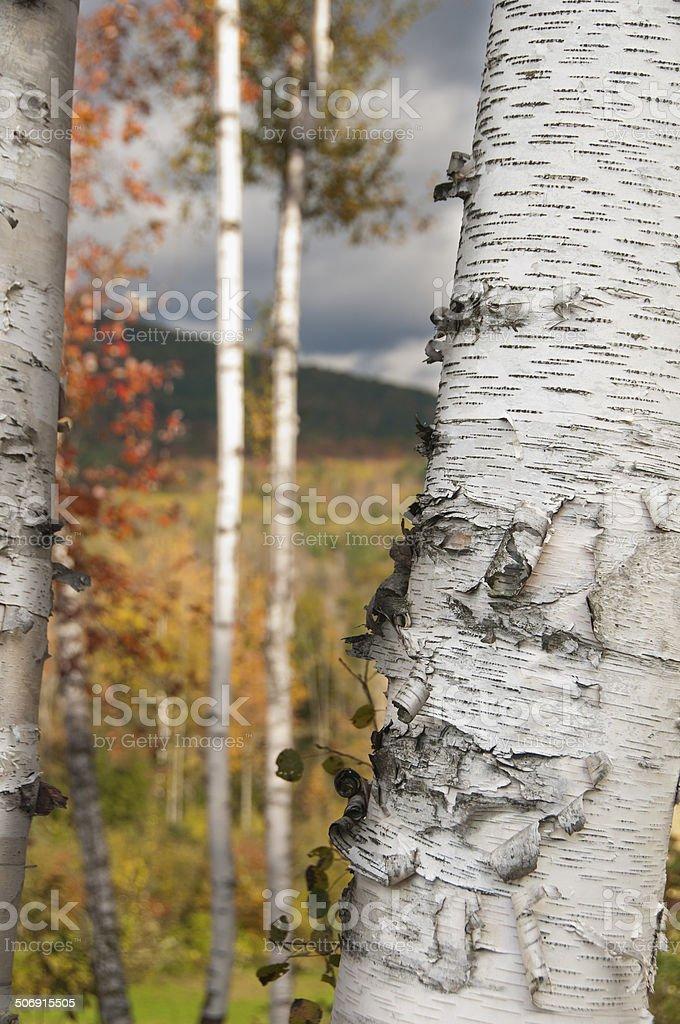 Fall Birch Trees royalty-free stock photo