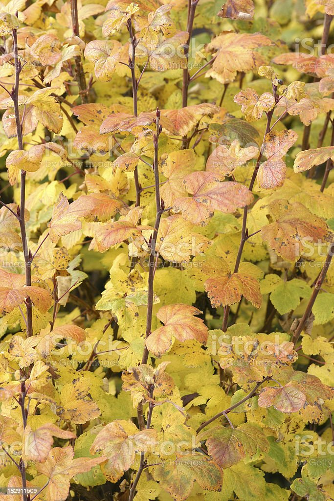 Fall blood red currant leaves stock photo