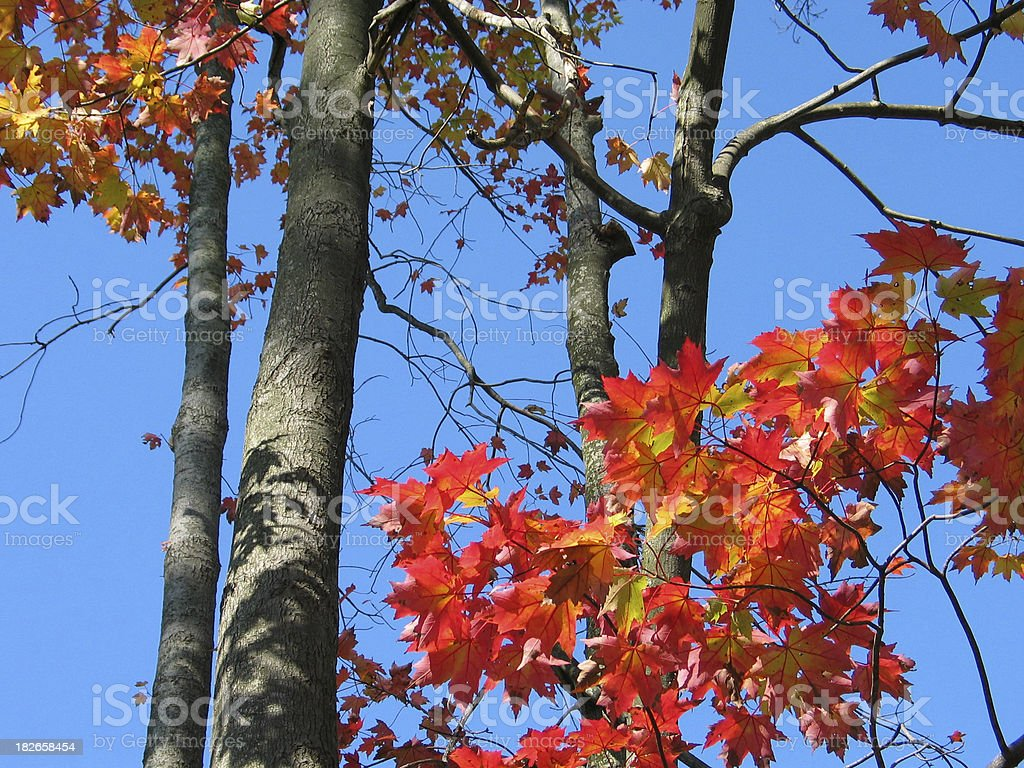 Fall Branches royalty-free stock photo
