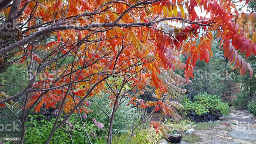 Fall Canopy Of Staghorn Sumac Over The Garden Path stock photo