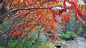 Fall Canopy Of Staghorn Sumac Over The Garden Path