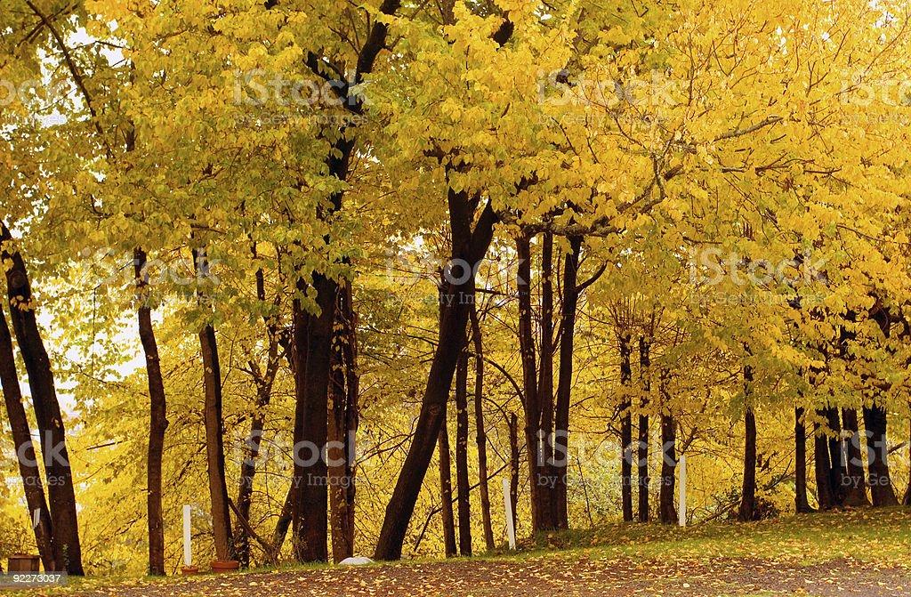 Fall Color, Cork Elm Grove1 royalty-free stock photo