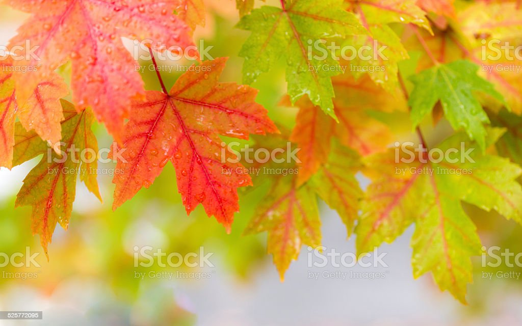 Fall color in the rain stock photo