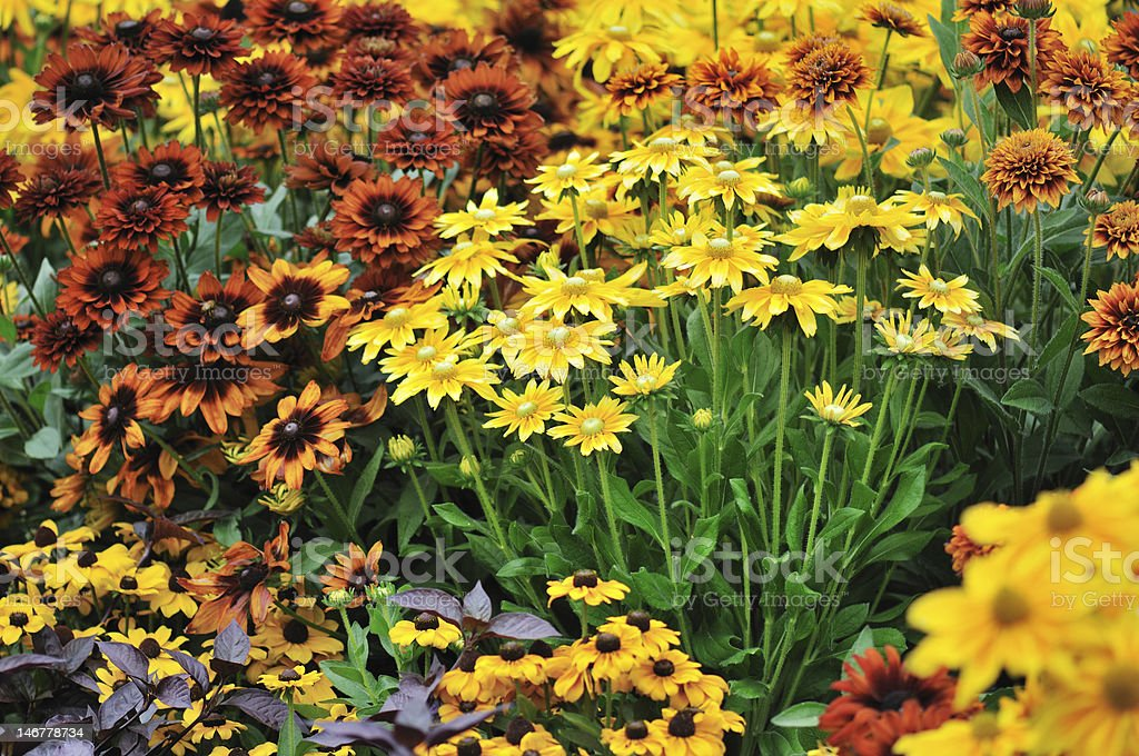fall color, rudbeckia flowers royalty-free stock photo