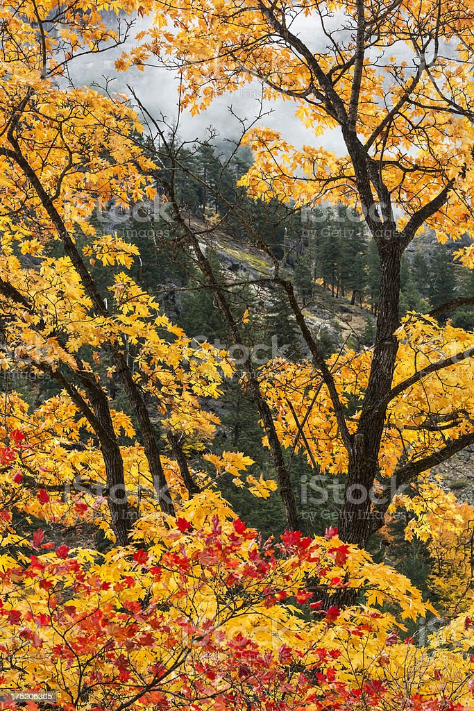 Fall Color Trees stock photo